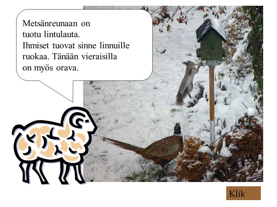 Metsänreunaan on tuotu lintulauta. Ihmiset tuovat sinne linnuille. ruokaa. Tänään vieraisilla. on myös orava.