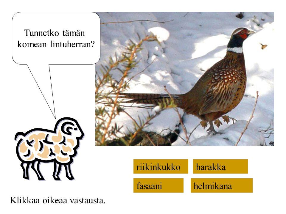 Tunnetko tämän komean lintuherran riikinkukko harakka fasaani helmikana Klikkaa oikeaa vastausta.