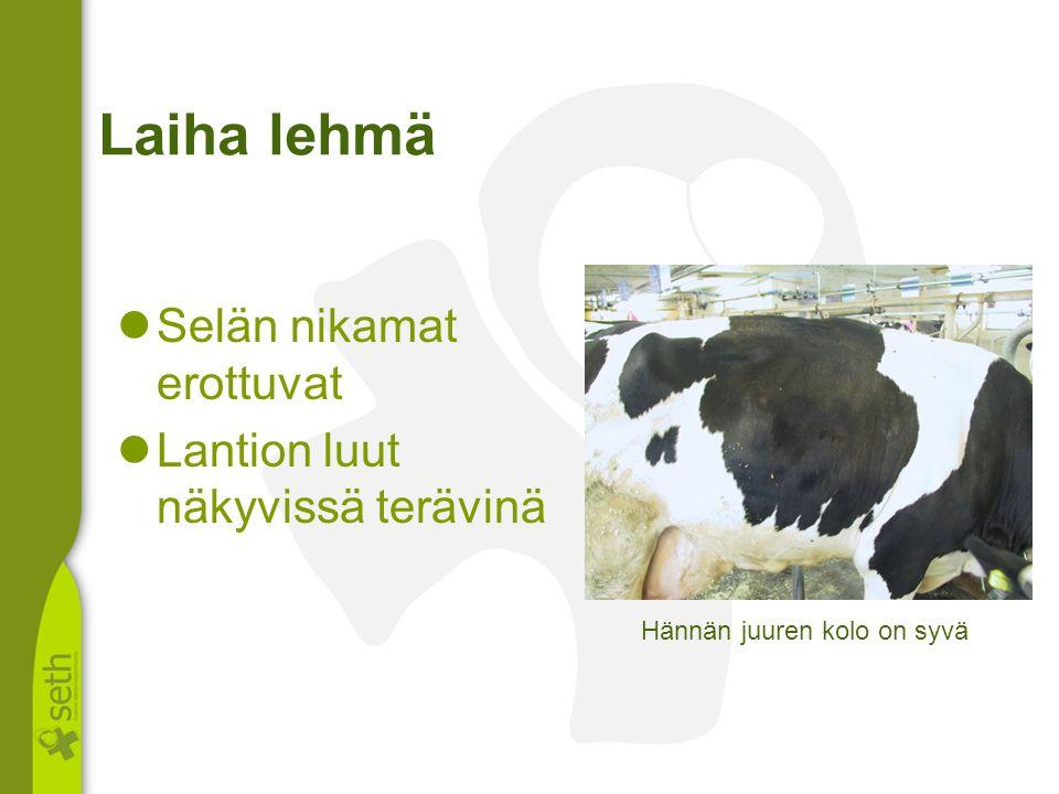 Laiha lehmä Selän nikamat erottuvat Lantion luut näkyvissä terävinä
