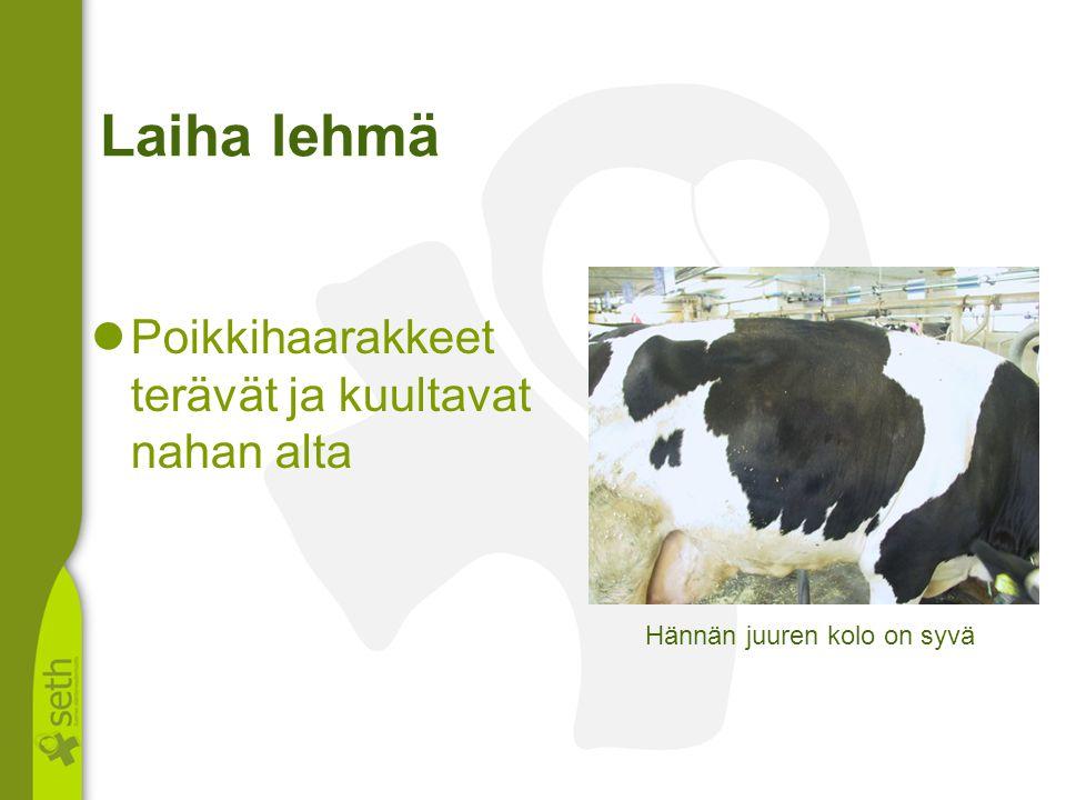 Laiha lehmä Poikkihaarakkeet terävät ja kuultavat nahan alta