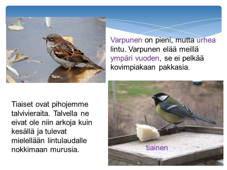 Varpunen on pieni, mutta urhea lintu