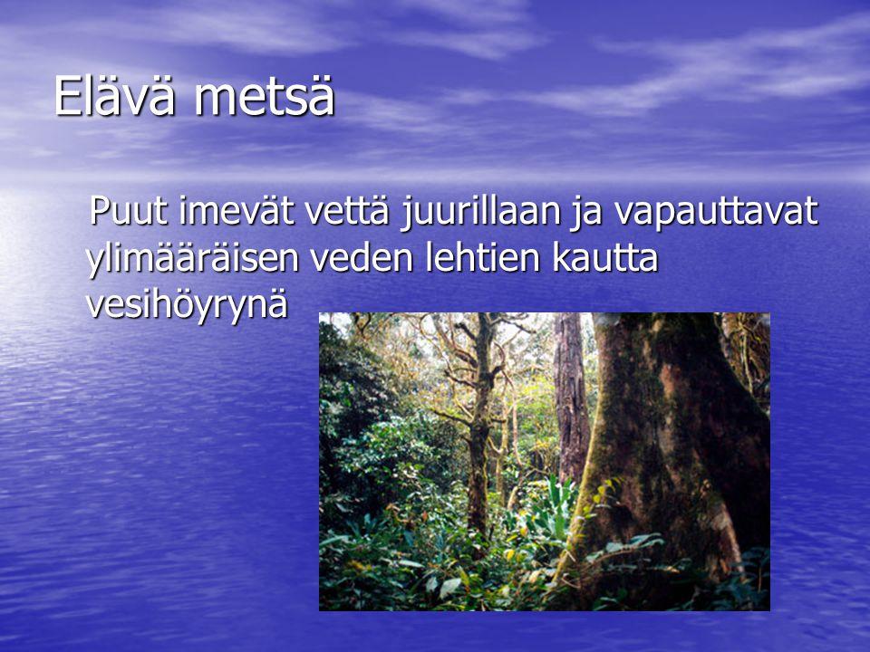 Elävä metsä Puut imevät vettä juurillaan ja vapauttavat ylimääräisen veden lehtien kautta vesihöyrynä.