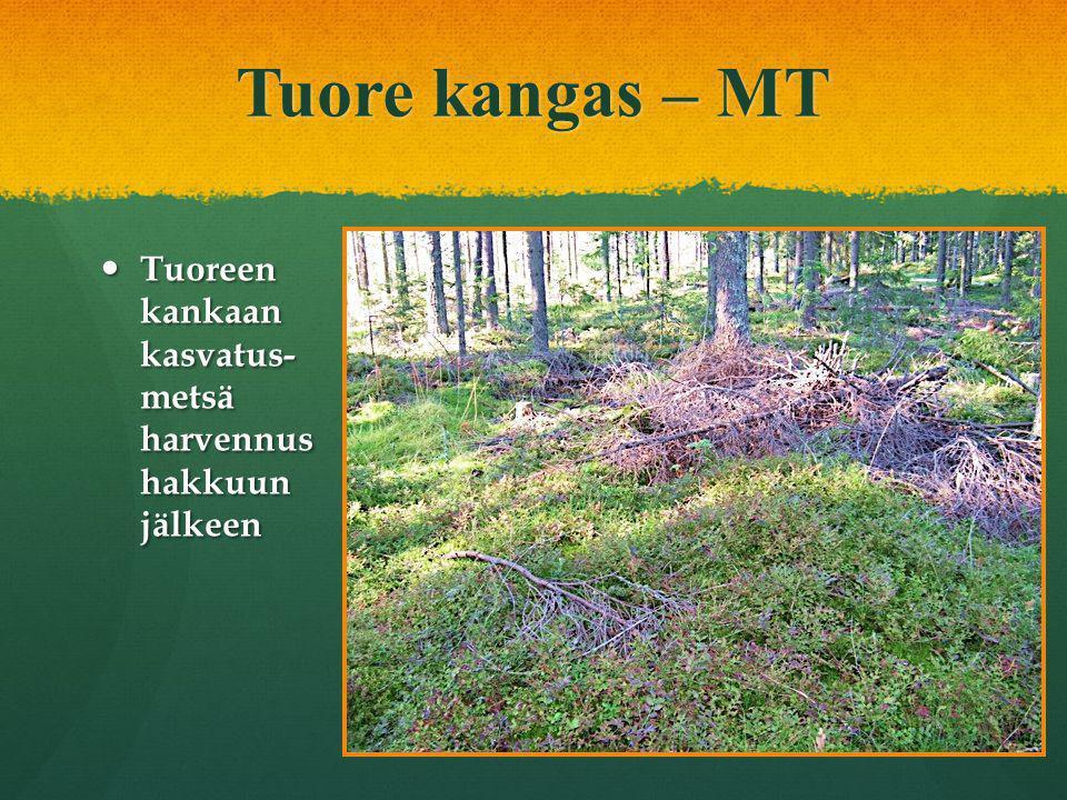 Tuore kangas – MT Tuoreen kankaan kasvatus- metsä harvennus hakkuun jälkeen