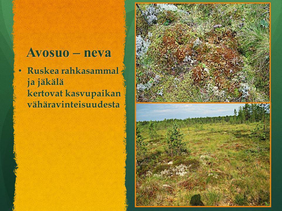 Avosuo – neva Ruskea rahkasammal ja jäkälä kertovat kasvupaikan vähäravinteisuudesta