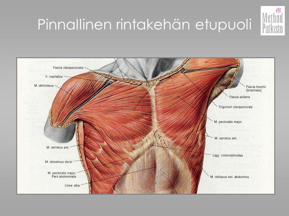 Pinnallinen rintakehän etupuoli