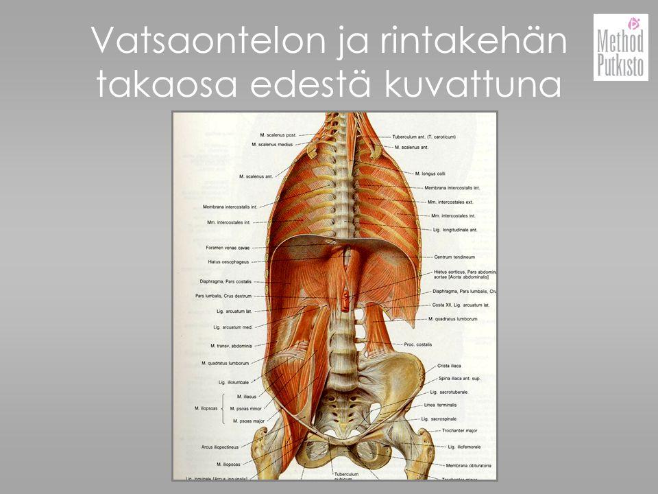 Vatsaontelon ja rintakehän takaosa edestä kuvattuna