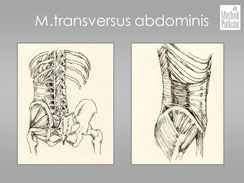 M.transversus abdominis