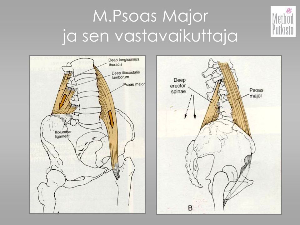 M.Psoas Major ja sen vastavaikuttaja