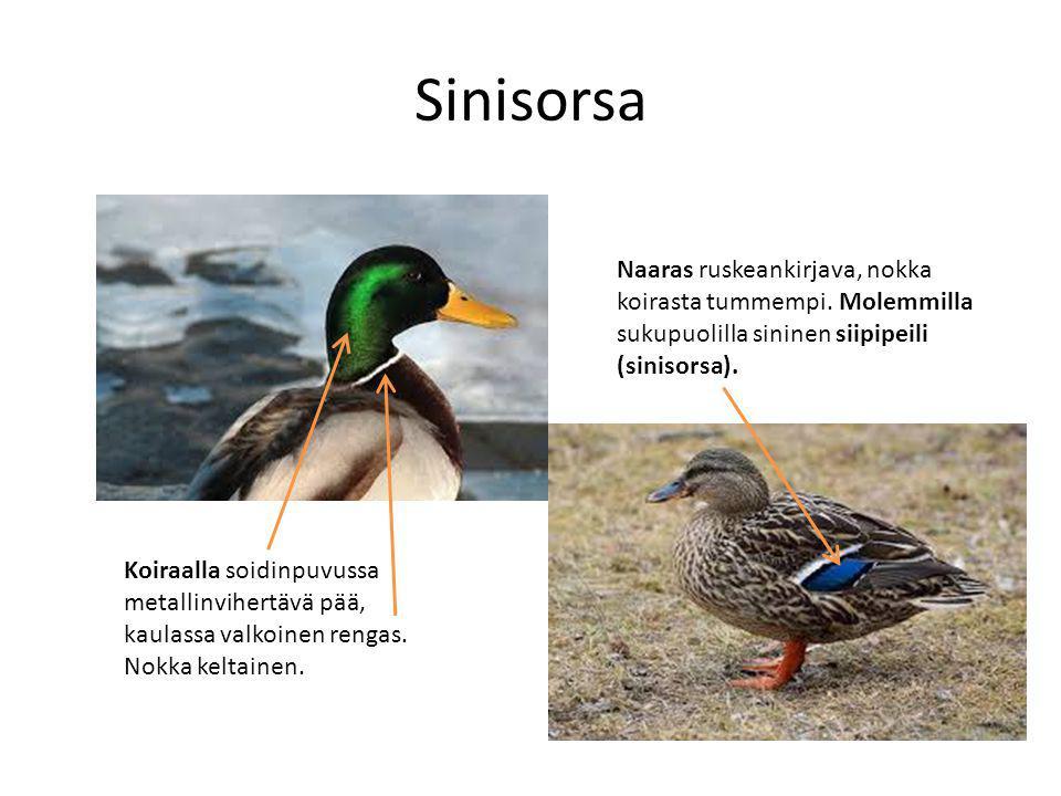 Sinisorsa Naaras ruskeankirjava, nokka koirasta tummempi. Molemmilla sukupuolilla sininen siipipeili (sinisorsa).