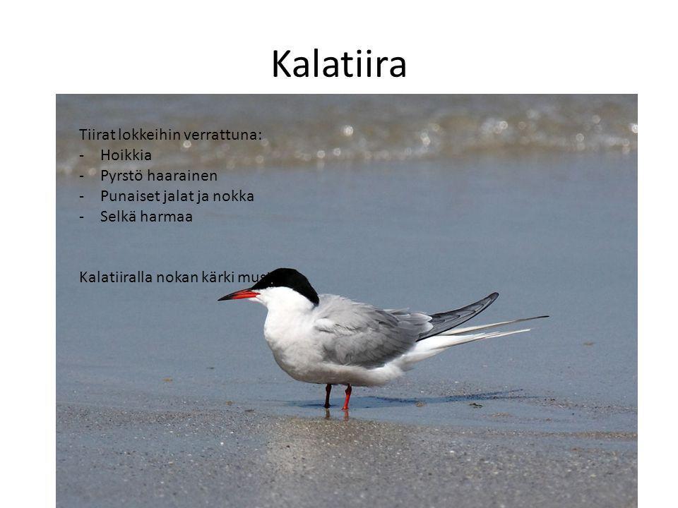 Kalatiira Tiirat lokkeihin verrattuna: Hoikkia Pyrstö haarainen