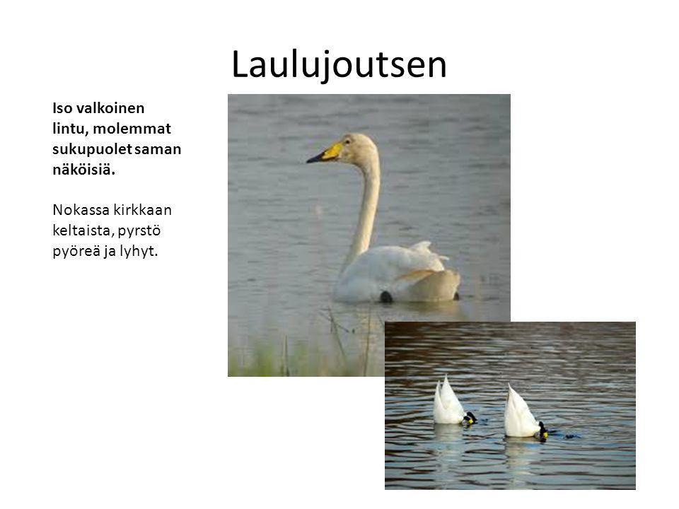 Laulujoutsen Iso valkoinen lintu, molemmat sukupuolet saman näköisiä.