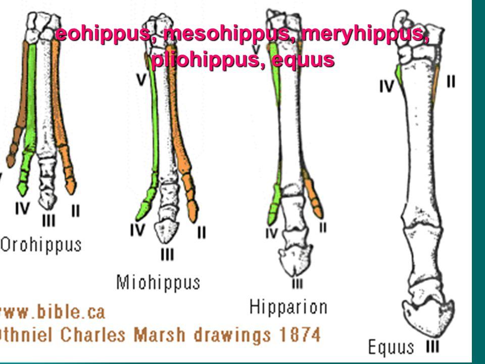 eohippus, mesohippus, meryhippus, pliohippus, equus