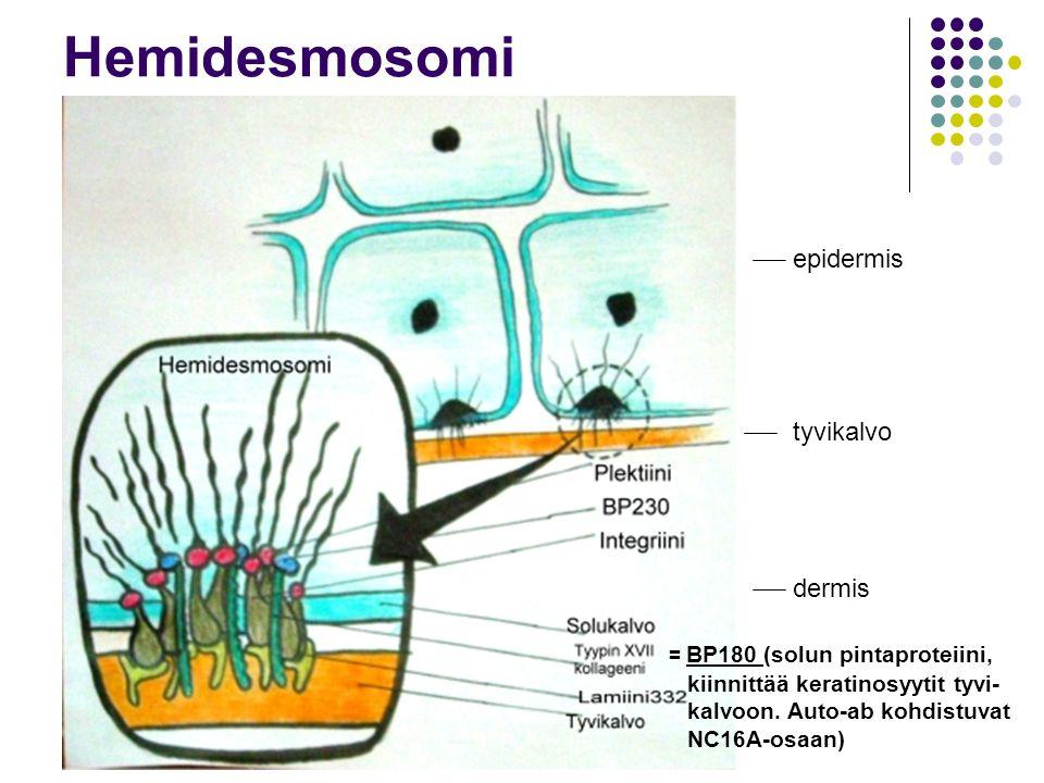 Hemidesmosomi epidermis tyvikalvo dermis