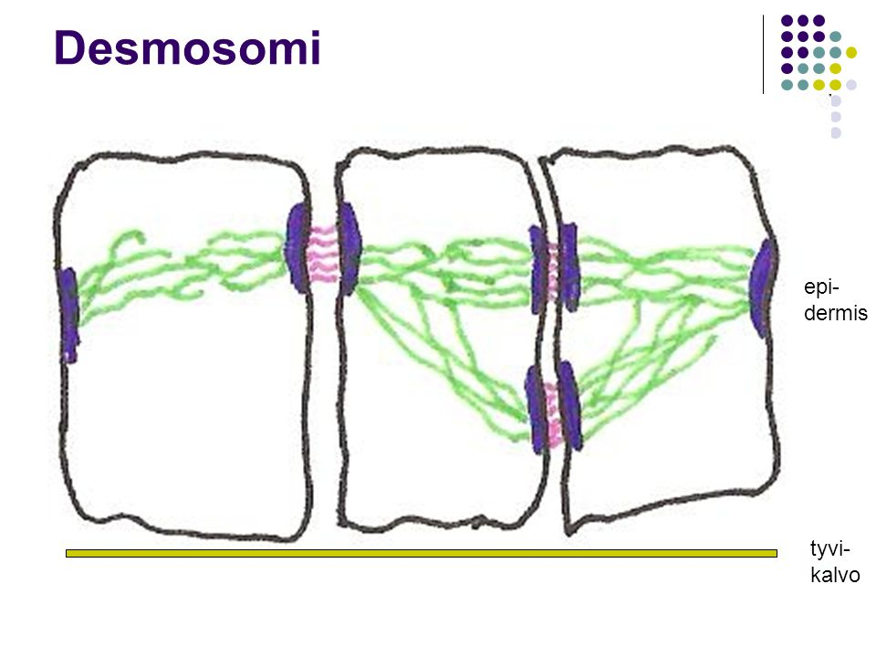 Desmosomi epi- dermis tyvi- kalvo