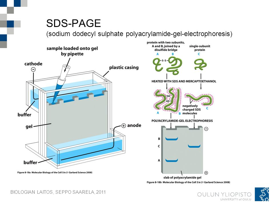 Electrophoresis of proteins and DNA on horizontal sodium dodecyl sulfate polyacrylamide gels